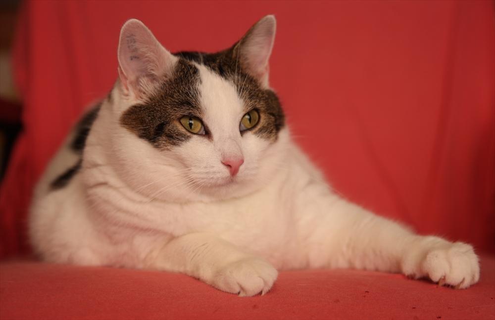 Gurbetçi ailenin 11 kiloluk kedisi galerisi resim 3