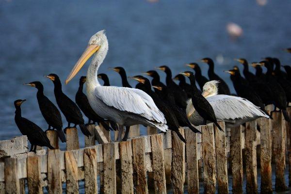 Yılın fotoğrafı: Karabatak ve Pelikan galerisi resim 1
