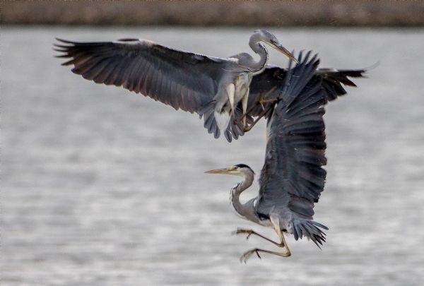 Yılın fotoğrafı: Karabatak ve Pelikan galerisi resim 8
