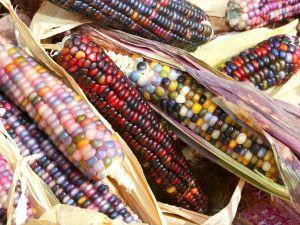 Rengarenk mısırlarda talep patlaması