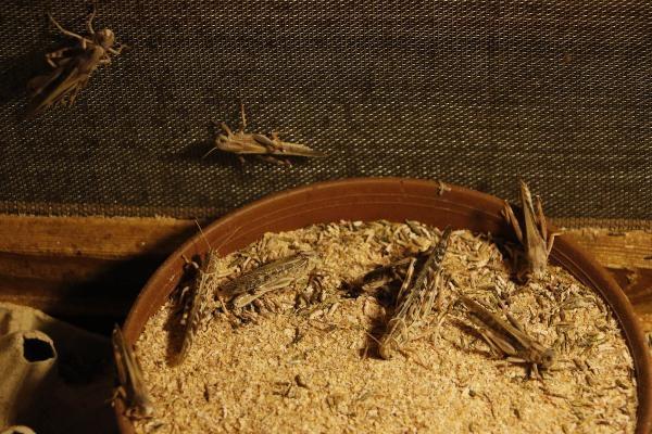 10 sene içinde böcek yiyenlerin sayısı artacak galerisi resim 1