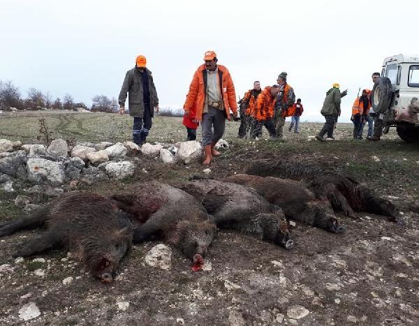 Avrupalılardan 'domuz safarisi'ne ilgi galerisi resim 1