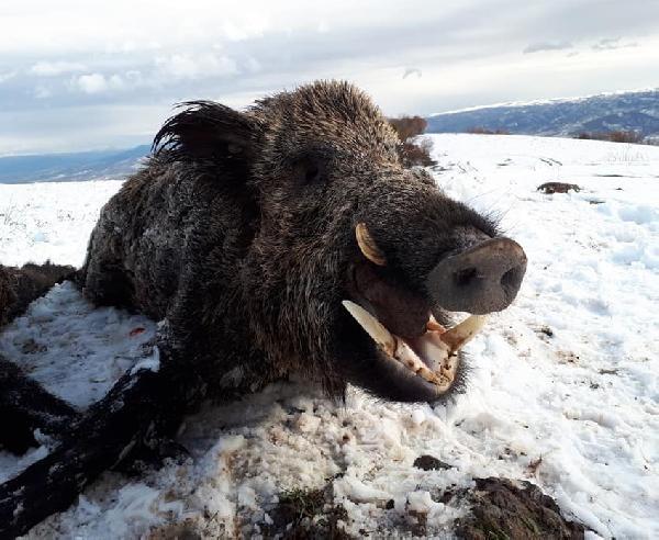Avrupalılardan 'domuz safarisi'ne ilgi galerisi resim 3