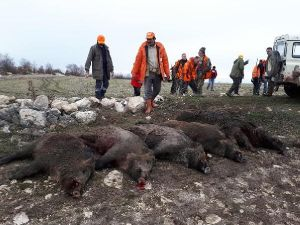 Avrupalılardan 'domuz safarisi'ne ilgi