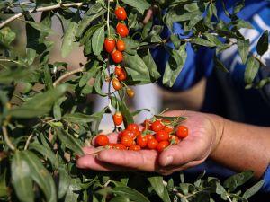 Gurbetçi girişimci 'goji berry'i sevdirdi