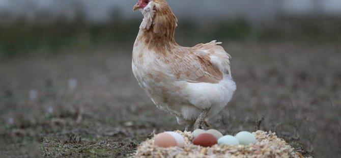 Sadece 'gezen tavuk'lara izin verilecek
