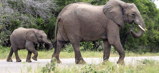 200 fil kuraklıktan öldü
