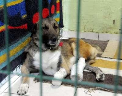 Bacağı sakat köpek ameliyat edildi