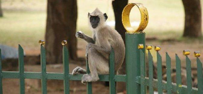 Maymunların 'serbest dolaşımı' yasaklanıyor