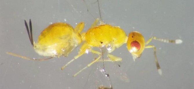 Yeni böcek türü bulundu