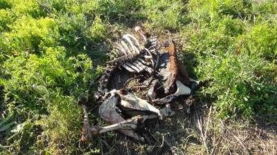 Boş arazide kesilip etleri alınmış at iskeleti bulundu