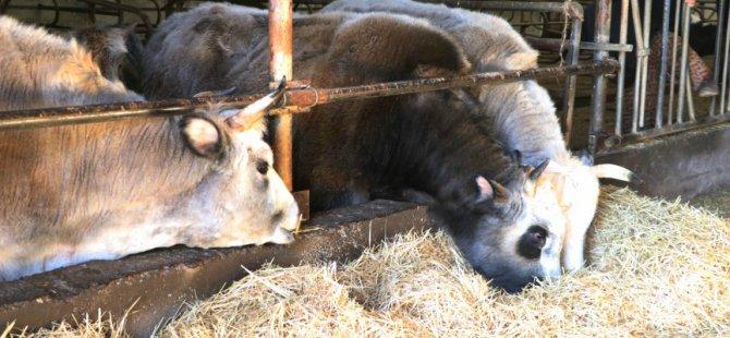 Sığır sayısında Avrupa birincisiyiz