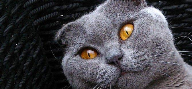 Bazı kedi cinslerinin yetiştirilmesi yasaklandı