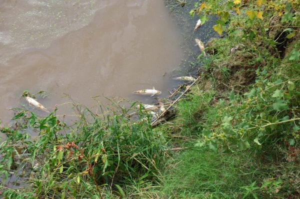 Gediz Nehri'nde ürküten toplu balık ölümü