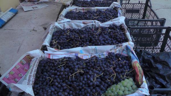 Muş'ta üzüm bereketi