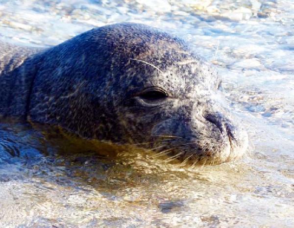 Plajda sevimli fok sürprizi