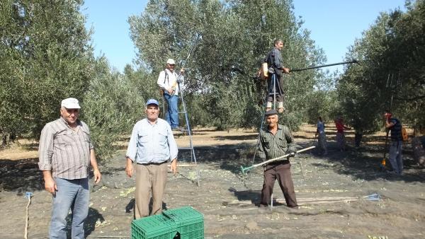 Zeytin hasadının başladığı Burhaniye'de rekoltede düşüş bekleniyor
