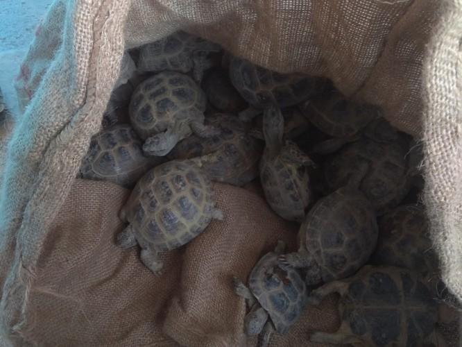 Türkiye'den 3 bin adet kaplumbağa kaçırıldı