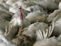 İngiltere'de kuş gribi vakası görüldü