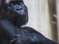 Dünyanın en yaşlı gorili öldü