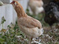 'Yeşil yumurtlayan tavuk' karaborsada