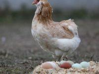 Gezen tavuk yumurtası aldatmacasına ceza