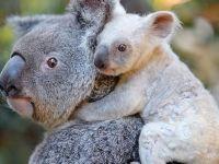 Beyaz koala herkesi şaşırttı