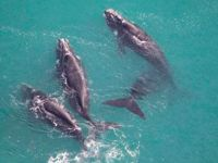 Balinaları uzaydan sayıyorlar