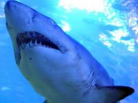 Sörfçüye köpek balığı saldırdı