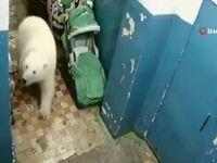 Aç kalan kutup ayısı şehre indi