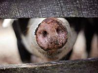 Çiftçi, yetiştirdiği domuzlara yem oldu