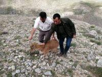 Yaralı bulunan yaban keçisinin tedavi süreci başladı