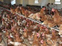 12 bin tavuk su baskınında telef oldu