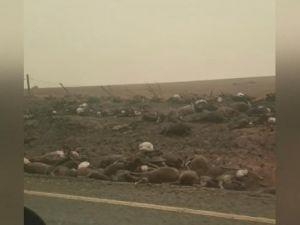 Binlerce kanguru ve koala öldü